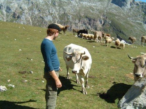 picos de europa and cows