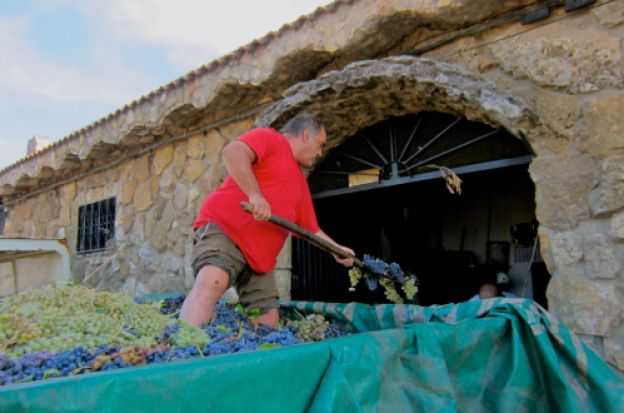 worker unloading grapes to make wine, el molar, madrid